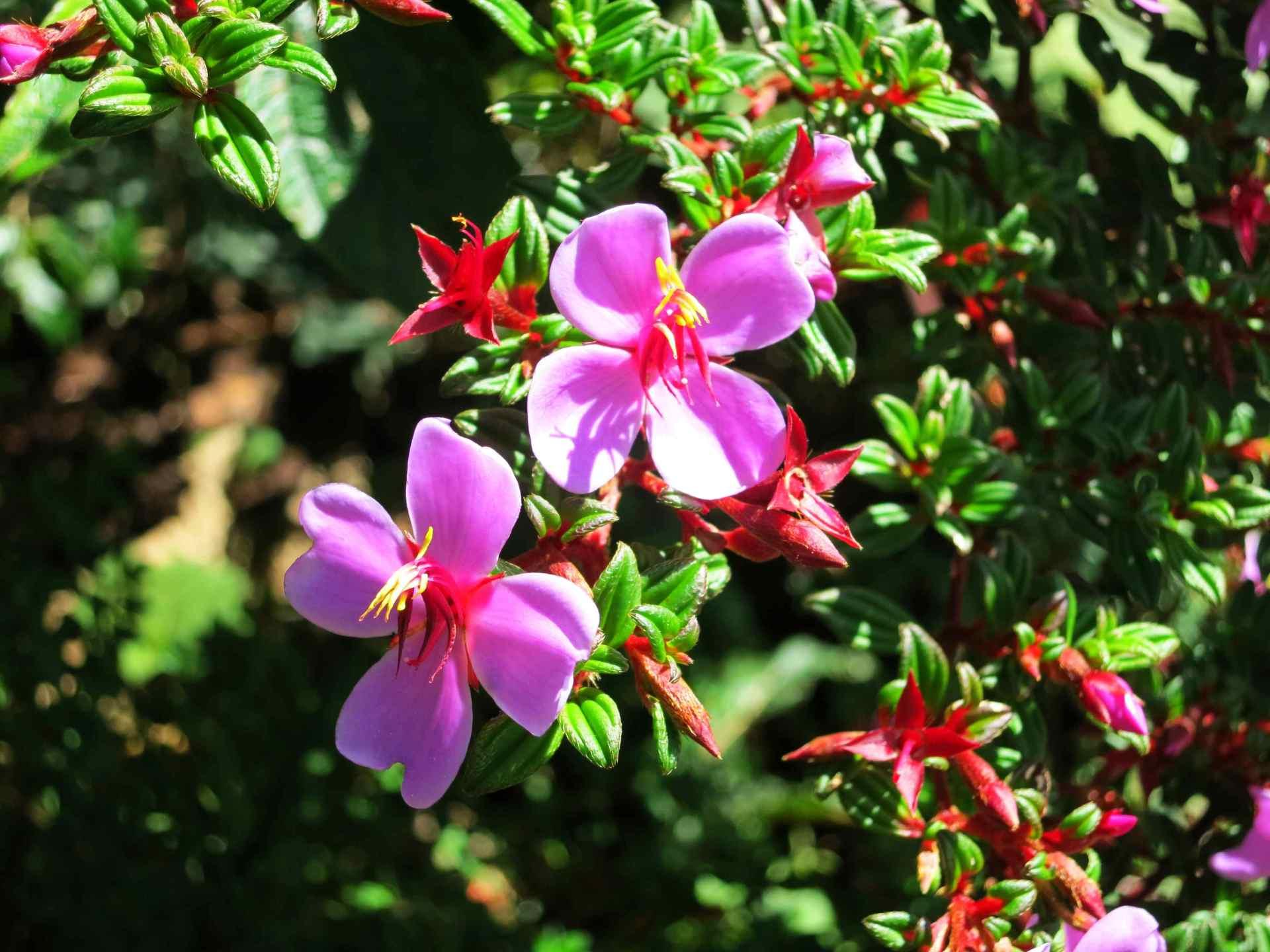 Vegetation Nationalpark Volcano Poas Blumen lila