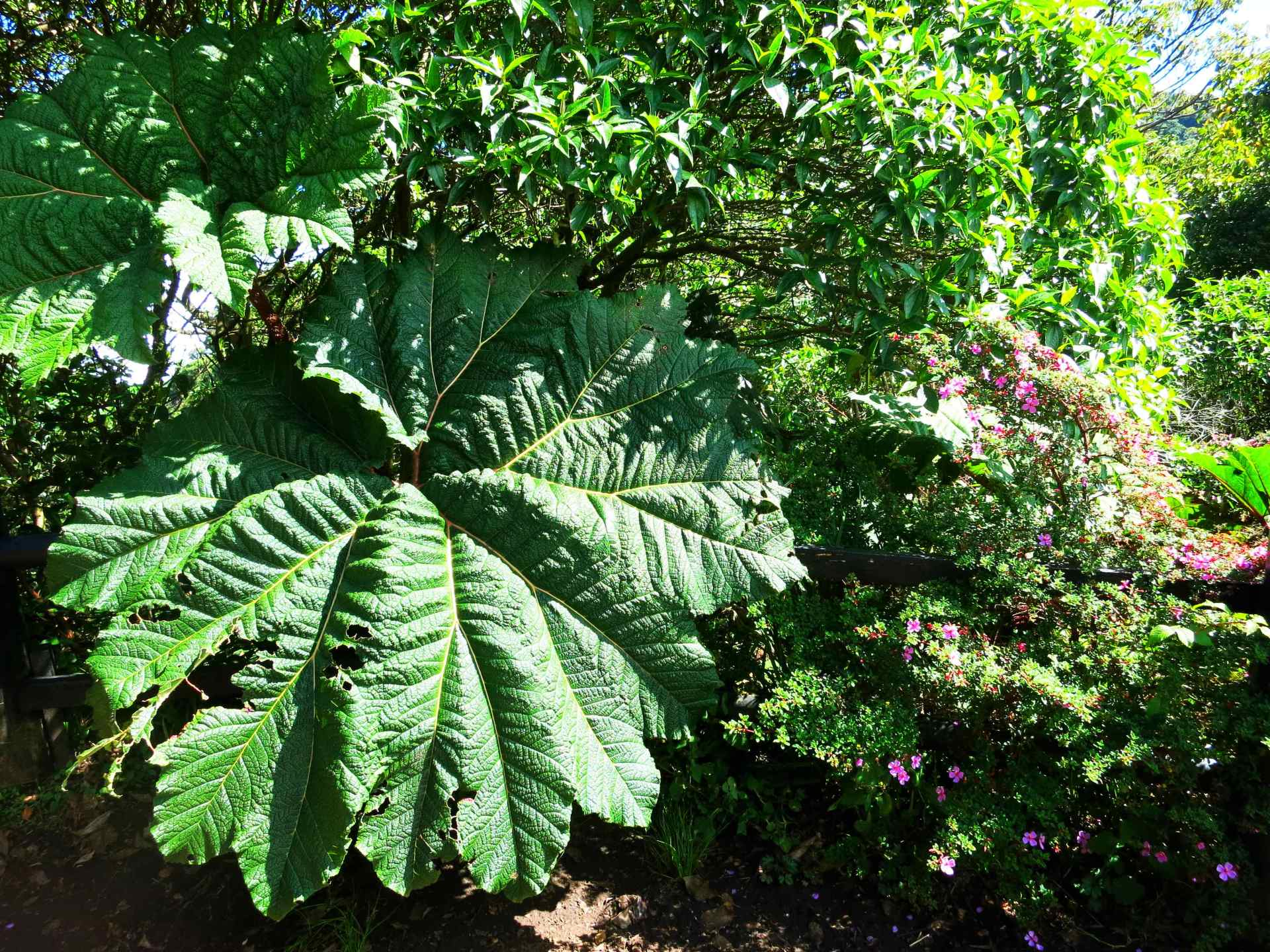 Vegetation Nationalpark Volcano Poas Regenschirmpflanze